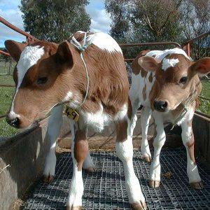Calf Matting